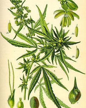 Cannabis - eine Pflanze mit vielen Talenten
