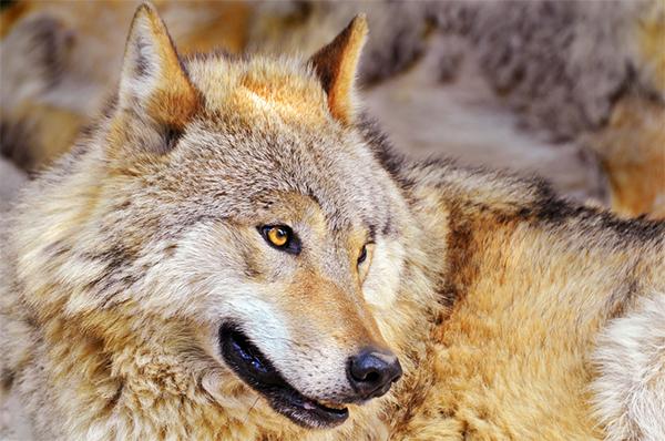 picweekwolf