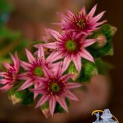 Rote Alpenblume
